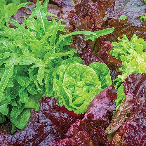 Lettuce Seed Burpee (Burpee Heatwave Blend Lettuce Seeds 1000 seeds)