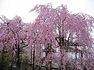 20 Pink Fountain semillas del árbol de cerezo llorando semillas bonsai jardín de DIY