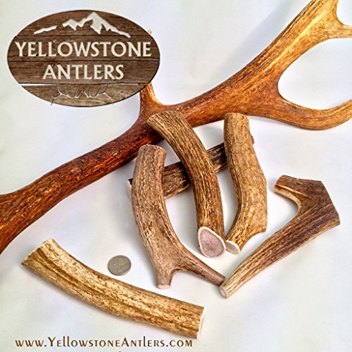 Fresh Grade-A+ Made in USA Elk Antlers ( Medium 6-8 inch 4-6 Ounce Size) Medium Whole Elk Antler Dog Chews- Elk Antler Dog Bones, Organic Antler Dog Chews, Antler Chew For Dogs Dog Swallowed Rawhide