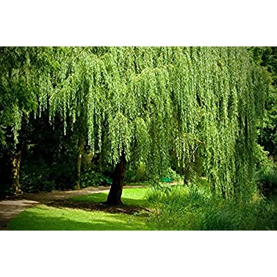 8 Weeping Willow Trees - Salix Babylonica - Beautiful Arching Canopy - Ready to Plant : Garden & Outdoor