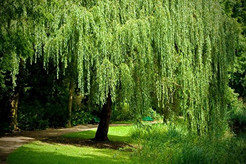 Iguana Grain - 1 Weeping Willow Tree - Live Tree Plant - Memorial Gift - Beautiful Arching Canopy Add Peace and Serenity - Grieving Gift- Pet Memorial