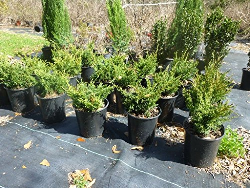 - Shimpaku Juniper, Evergreen, Great for Bonsai