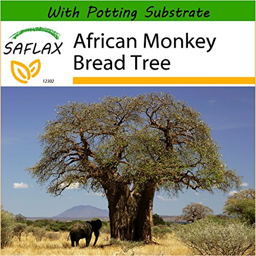 SAFLAX - African Monkey Bread Tree - 6 Seeds - with Soil - Adansonia digitata