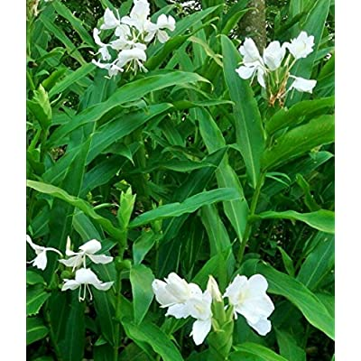 1 Rhizome/Bulb Sprouting White Butterfly Ginger Hedychium Coronarium Fragrant : Garden & Outdoor