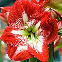 Amaryllis Bulb Red Amaryllis Minerva - 26/28cm Bulb - Outstanding Indoor Blooms - FAST Blooming!