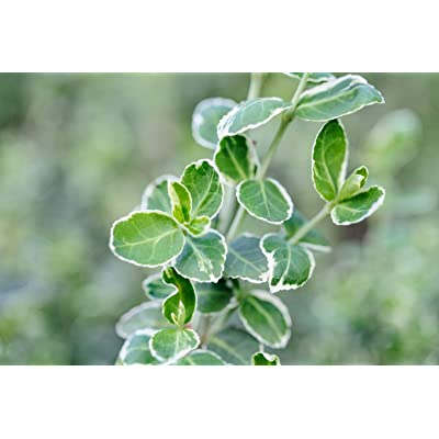"2 Live Plant Euonymus Green Gaiety 2.5"" Pot Shrubs Garden tkeen : Garden & Outdoor"