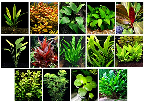 40 Live Aquarium Plants / 14 Different Kinds - 2 Amazon Swords (2 kinds, 1- RED), 3 Anubias (3 kinds), Java Fern, Cabomba and much more! Great selection of aquarium plants for 35-40 gal tanks! (37 Gallon Aquarium)