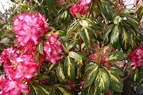 (Rhododendron President Roosevelt - Container Size Plants - Flowering Shrub -Red and White Blooms with Variegated Foliage (One Gallon Plant))