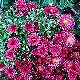 100Pcs Ground-cover Chrysanthemum Seeds Home Garden Yard Flower Bonsai Decor