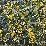 Blue Leaf Wattle Tree Seeds (Acacia Saligna) 40 Seeds
