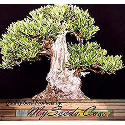 Olive Tree - Olea europaea - Seed Seeds - Great for Bonsai - Variety from Italy - Frangrant Blooms - Perfect for Indoor and Greenhouse (100 Seeds - 1 oz) : Tree Plants : Garden & Outdoor