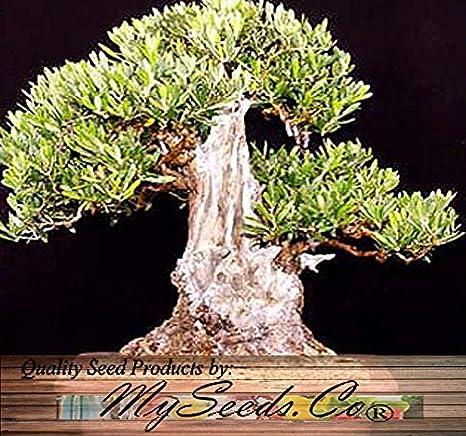 Amazon.com: 5 x olivo Olea europaea semillas Bonsai y ...
