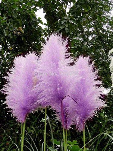 20 Blumensamen Pampas Gras Farn Cortaderia Selloana farbig (Lila)