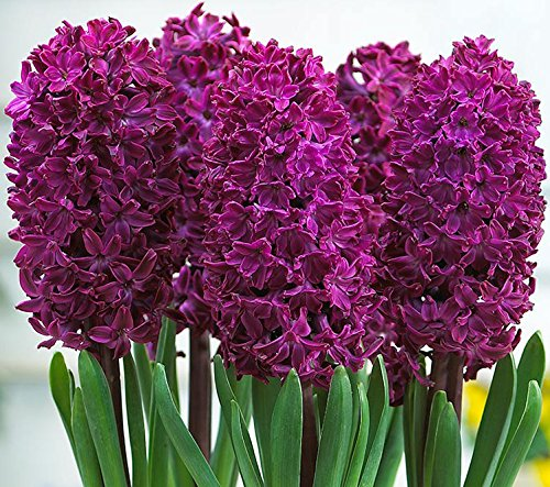 Hyacinth Planter (Beautiful & Fragrant Woodstock Hyacinth Blooming Sized Bulb, Great for Indoor Planters)