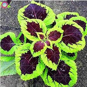 100pcs / bolsa de semillas del arco iris del coleo en maceta de flores, follaje Japón hermosa planta de interior Bonsai semilla perenne Rare para el hogar y el jardín 3