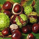 Horse-Chestnut Tree Seeds (Aesculus hippocastanum) 3+ Fresh Medicinal Nut Tree Seeds