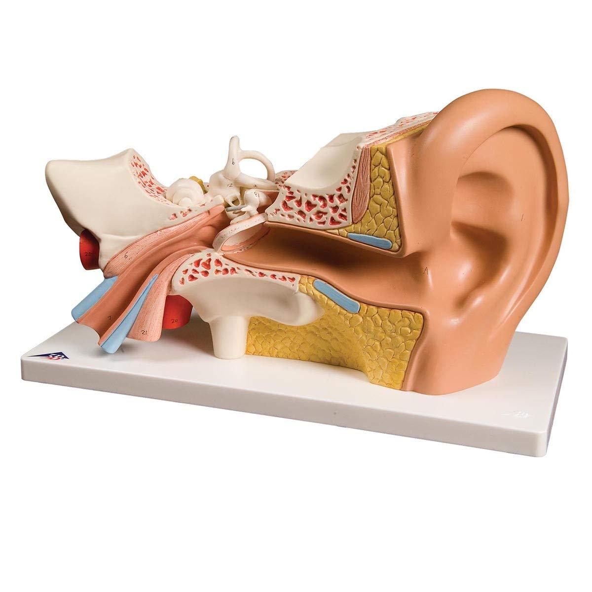 平衡聴覚器,3倍大4分解モデル,標準型   B007NCV0U2