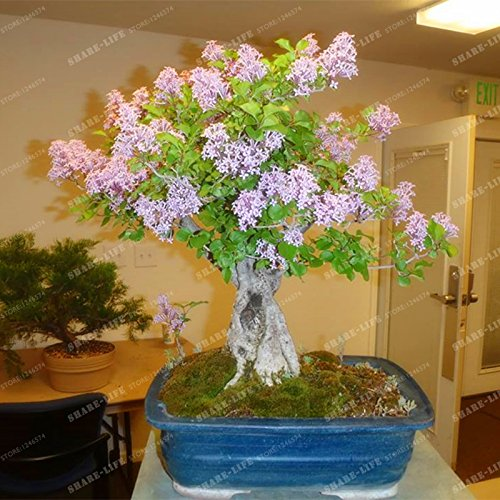 50 Seeds Japanese Lilac Seeds Extremely Fragrant Clove Flower Syzygium Aromaticum Seeds ()