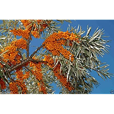 200 Seeds Sea Buckthorn, Seaberry - Hippophae Rhamnoides - Edible Fruit - Raw or Cooked ! : Garden & Outdoor