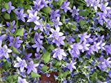 6 Live Campanula Muralis Plant - 6 Ground Cover Plants From Plugs