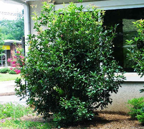50 Fragrant Tea Olive Tree Seeds, Osmanthus Frangrans ()