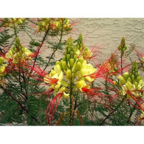 New Caesalpinia Gilliesii Dwarf Shrub Tree Yellow Bird Of Paradise