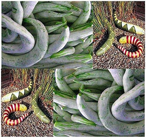 (10) SNAKE GOURD Gourd seeds