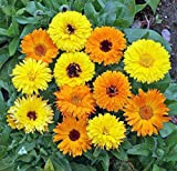 Pacific Beauty Calendula Seeds - 1.25 grams