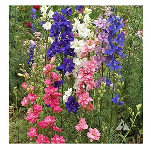 (Larkspur - Wild Delphinium Mixed Colors - 4' Tall and Used Widely by Floral)