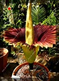 Seeds Shopp 200pcs/bag Corpse flower seeds,the Titan arum is also known as the