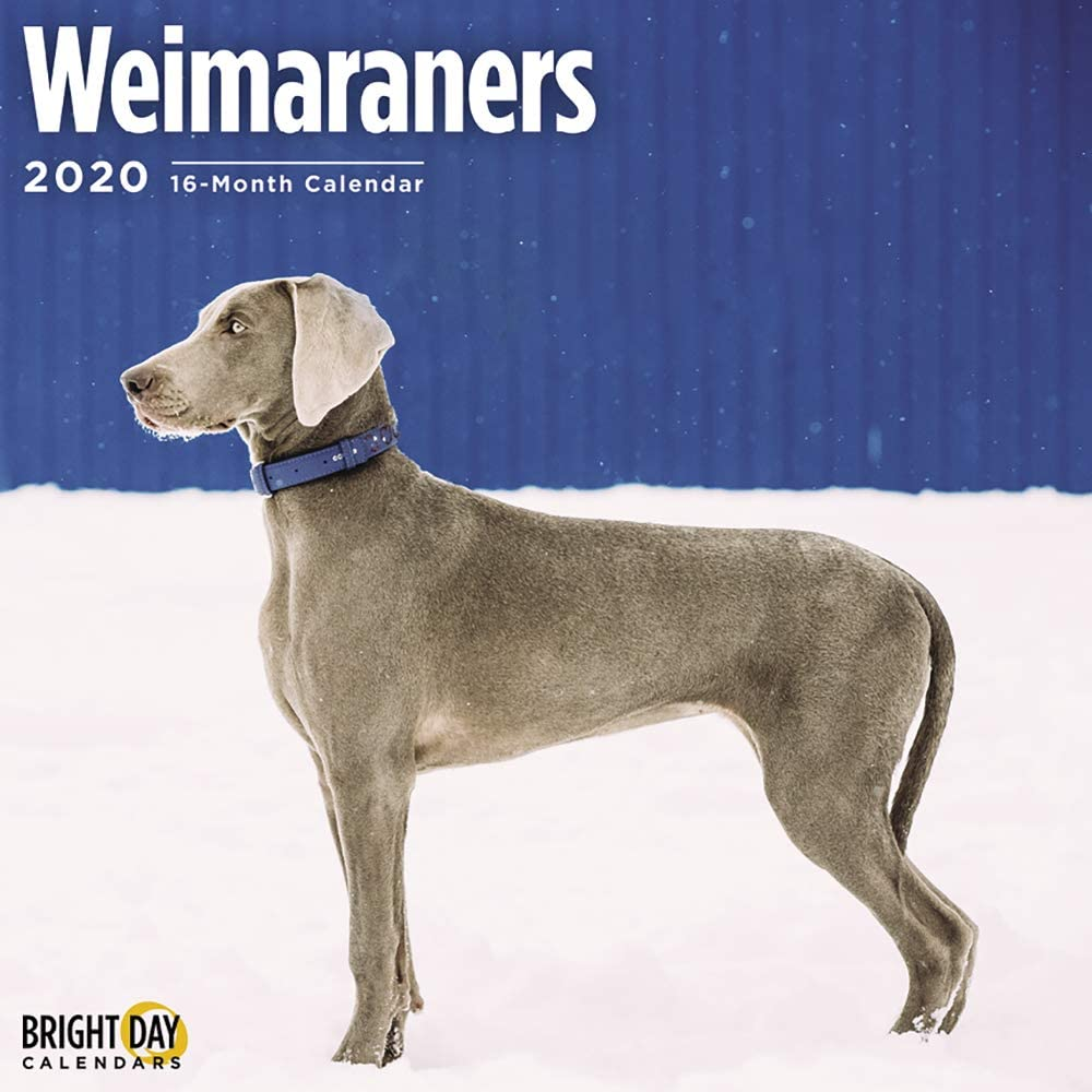 2020 Weimaraners Wall Calendar by Bright Day, 16 Month 12 x 12 Inch, Cute Dogs Puppy Animals