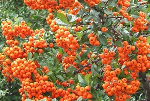25 Stück Feuerdornhecke orange im Topf/Container Größe 60 bis 80 cm