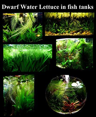 25 surface floating live aquarium pond plants 6 for Floating fish aquarium for pond