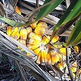 Pandanus Palm Seeds (Pandanus utilis) 5+ Rare Tropical Palm Tree Seeds + FREE Bonus 6 Variety Seed Pack - a $29.95 Value!!