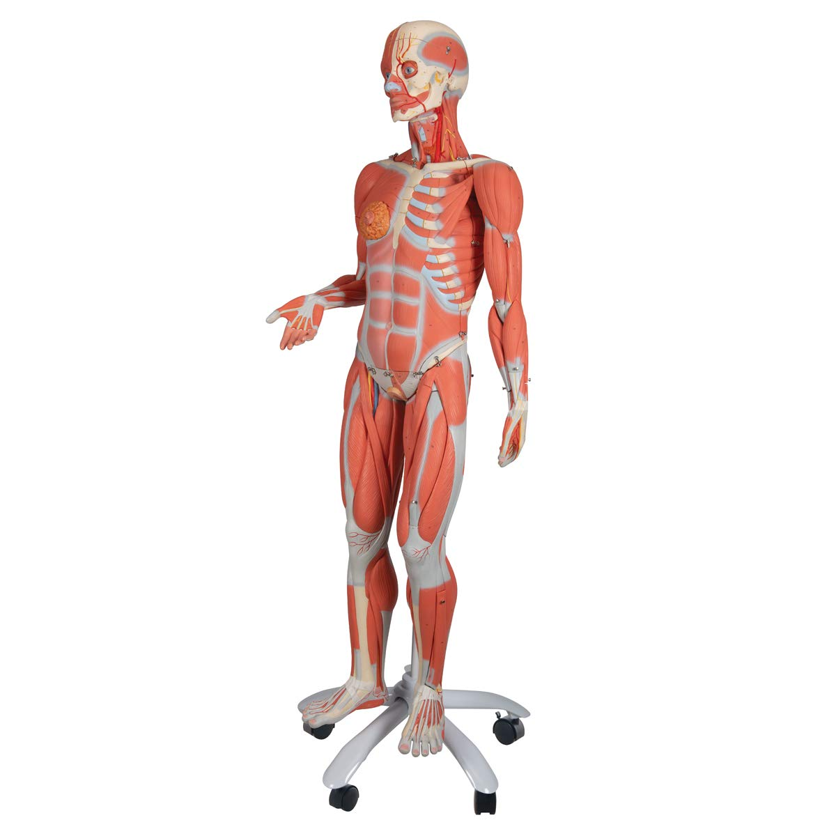 3b Scientific B51 23 Part 34 Life Size Female Muscle Figure Model