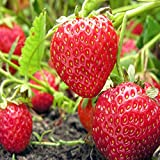 Fort Laramie Everbearing Strawberry Plants-Certified Disease & Virus Free - Bare Root Non-GMO Plants. (250 Plants)
