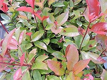 Glanzmispel Little Red Robin 25-30cm Photinia fraseri