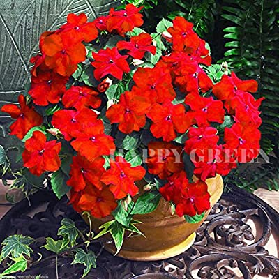 BUSY LIZZIE RED - Touch me not - Impatiens walleriana - 150 seeds