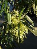 10 Seeds Searsia lancea African Sumac Tree