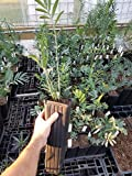 Encephalartos Ferox Zululand Cycad SHADE Loving Plant