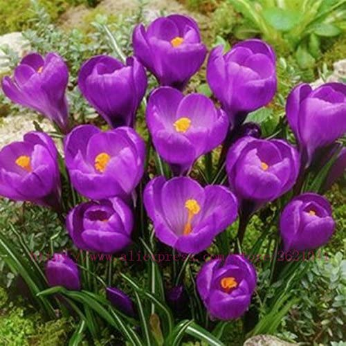 Amazon Com True Crocus Saffron Bulbs Not Saffron Seeds