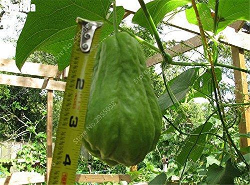30 pcs/ bag Bonsai Chayote Seeds Outdoor Non-GMO Succulent Pumpkin Fruit Vegetables Bonsai Potted Plant for Flower Pot Planters