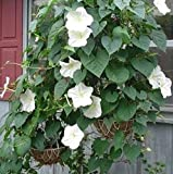 Non GMO Bulk Morning Glory, Moonflower Flower Seeds