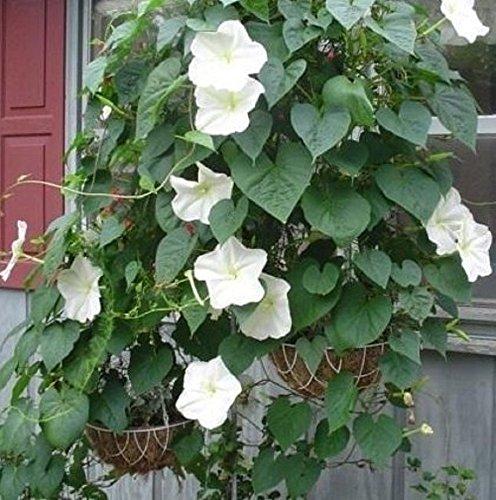 Non GMO Bulk Morning Glory, Moonflower Flower Seeds (1/2 Lb) by Dirt Goddess Super Seeds (Image #2)
