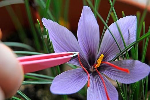 50 Crocus Sativus Bulbs Grow Your Own Saffron Millthorpe Plant Centre Free Delivery Amazon Co Uk Garden Outdoors