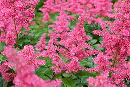 Purple Amethyst Astilbe False Spirea Perennial 4 Plant Clump ()