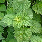 "Fragrant Patchouli Plant - Pogostemon - 2.5"" Pot"