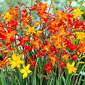 10 x Acidanthera Bulbs (Abyssinian Gladiolus) White and Fragrant (to plant yourself)