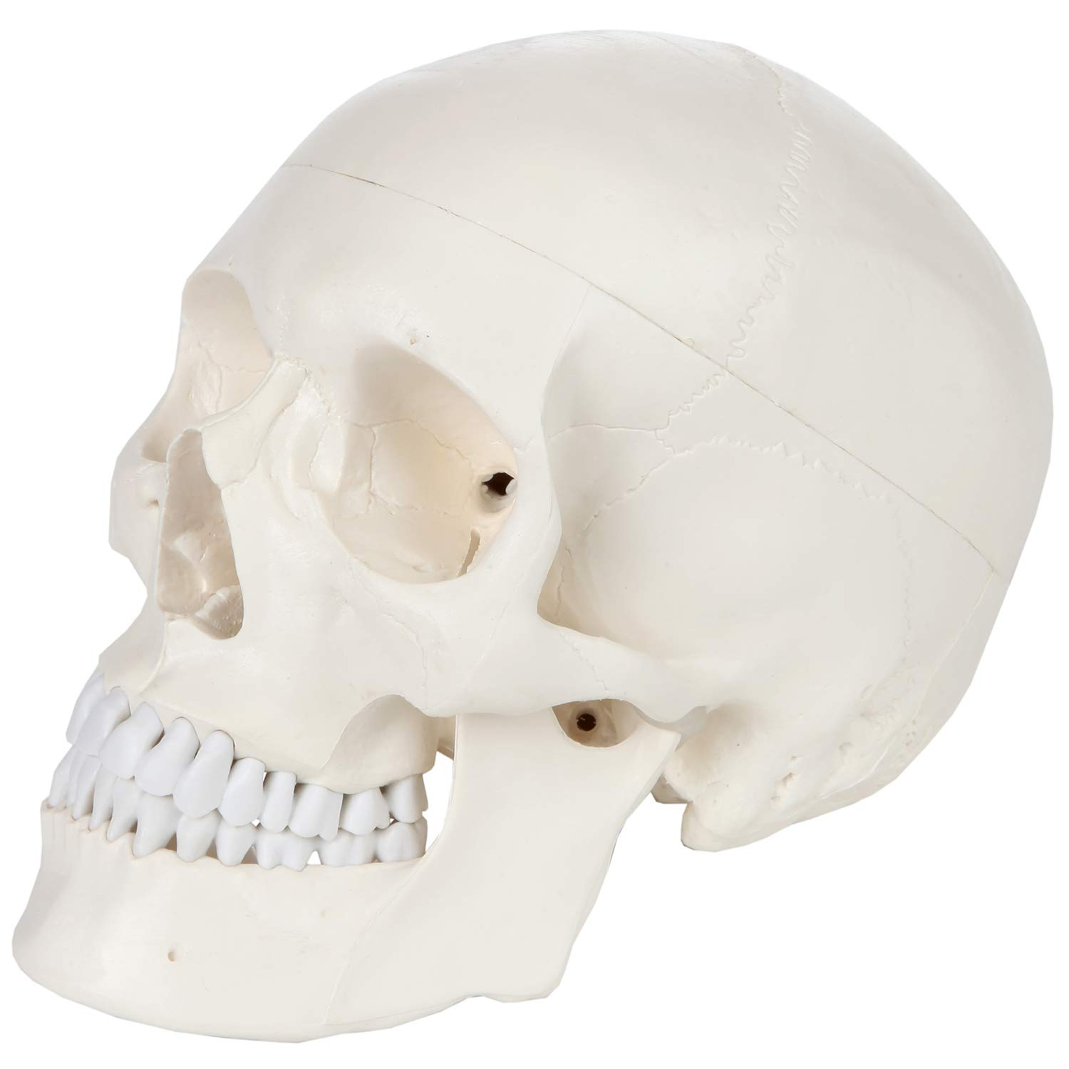 Human Skull Model Anatomical Medical Head Skeleton Life Size Adult Specimen for Education for School