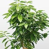 Bonsai Green Tree cinnamon seeds, indoor seeds 6pcs